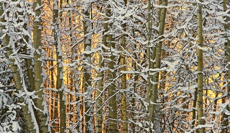 postcard_WinterSunsetbehindAspen_Jex_web-size
