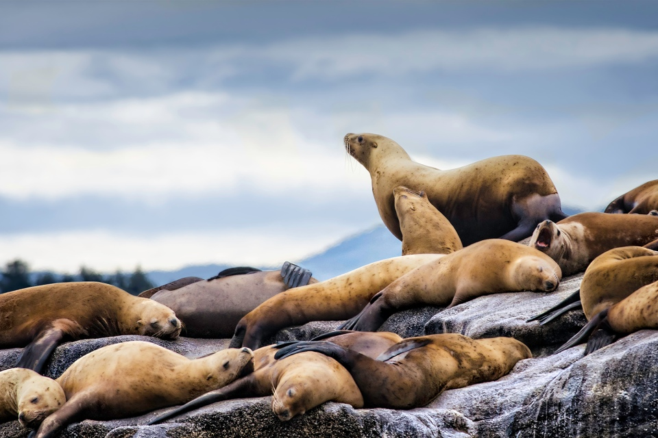Z sea lions horizon
