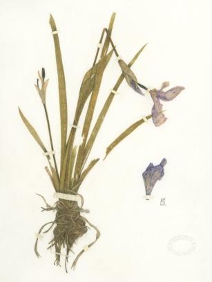 Iris setosa 1899(1)